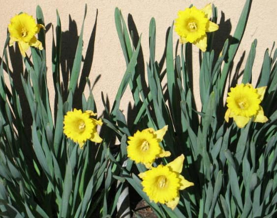 Sunny Daffodils at the Inn